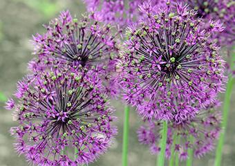 Alliaceae image