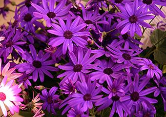 asteraceae image